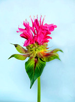 Bright Pink Bee Balm