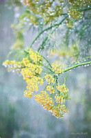 Drenched Dill