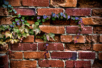 Vines on an Old Brick Wall
