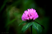 Sweet Red Clover